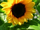 brown-eye-sunflower
