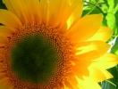 green-eye-sunflower